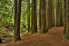 Californian Redwood Forest. In cape otway national park on the great ocean road, Victoria, Australia stock photography