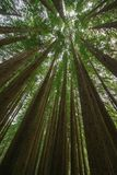 Californian Redwood Forest, Great Otway National Park, Victoria, Australia. Looking up in the Californian Redwood Forest, Great Otway National Park, Victoria stock photography