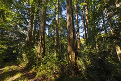Californian Redwood trees Royalty Free Stock Photography