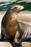 Californian Sea Lion. A Californian Sea Lion near the water's edge in summer stock photos