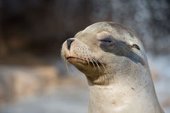 Californian sea lion close up portrait Stock Photography