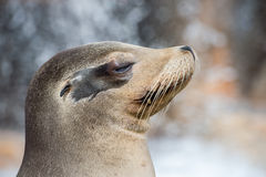 Californian sea lion close up portrait Royalty Free Stock Photos