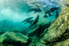 Californian sea lion. Colony of californian sea lion (Zalophus Californianus) from the sea of cortez, Mexico stock photography
