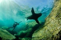 Californian sea lion Stock Image