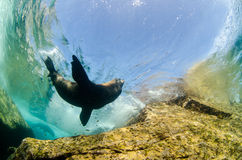 Californian sea lion Stock Photos