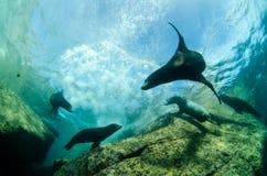 Californian sea lion Royalty Free Stock Photography
