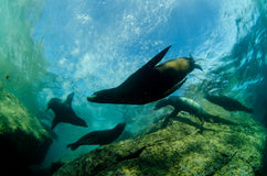 Californian sea lion. Colony of californian sea lion (Zalophus Californianus) from the sea of cortez, Mexico Stock Photo