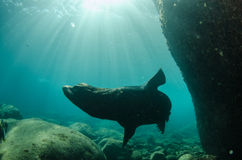 Californian sea lion Stock Images