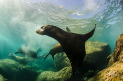 Californian sea lion. Colony of californian sea lion (Zalophus Californianus) from the sea of cortez, Mexico royalty free stock photos