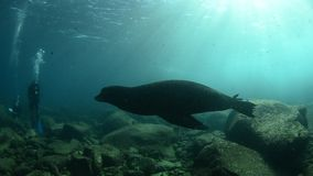 Californian sea lion stock footage