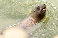 Californian Sea Lion Royalty Free Stock Image