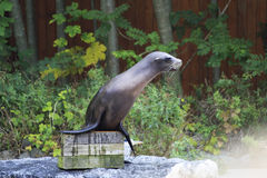 Californian sea lion. Stock Photo