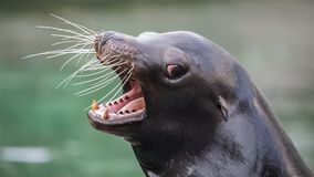 Californian sea lion. With open mouth stock photography