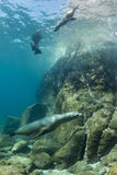 Californian sea lion seal underwater. Sea lion seal coming to you underwater Stock Images