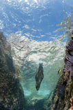 Californian sea lion seal underwater. Sea lion seal coming to you underwater Royalty Free Stock Photo
