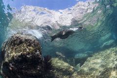 Californian sea lion seal underwater. Sea lion seal coming to you underwater Stock Photos