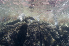 Californian sea lion seal underwater. Sea lion seal coming to you underwater Stock Photography