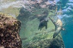 Californian sea lion seal underwater Royalty Free Stock Photo