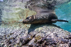 Californian sea lion seal underwater Stock Image