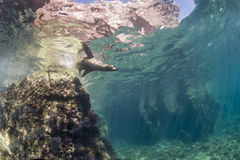 Californian sea lion seal underwater. Sea lion seal coming to you underwater Royalty Free Stock Photos