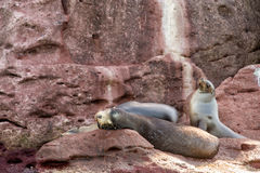 Californian sea lion seals relaxing Royalty Free Stock Image