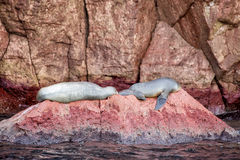 Californian sea lion seals relaxing Stock Photography