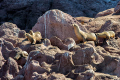 Californian sea lion seals relaxing Stock Images