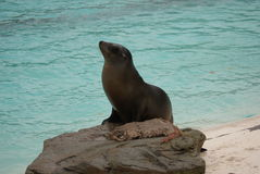 Californian Sea Lion - Zalophus californianus Royalty Free Stock Photography