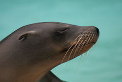 Californian Sea Lion - Zalophus californianus Stock Photos