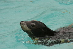 Californian Sea Lion - Zalophus californianus Royalty Free Stock Images