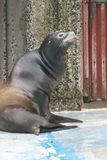 Californian Sea Lion - Zalophus californianus Stock Photography