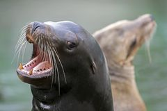 Californian sea lions. Californian sea lion with open mouth stock image