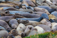 Californian sea lions (Zalophus californianus) in the Big Sur, California Stock Photography