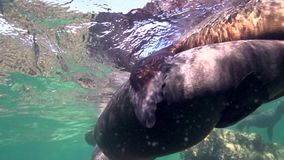 Californian sea lions Zalophus californianus are playing with with divers in Los Isoletes island Cortez sea La Paz stock footage