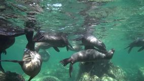 Californian sea lions Zalophus californianus are playing with with divers in Los Isoletes island Cortez sea La Paz stock video footage