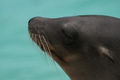 Californian Sealion Stock Image