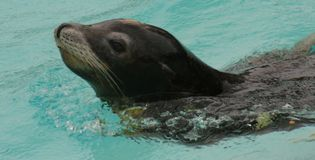 Californian Sealion Royalty Free Stock Images