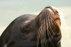 Californian Sealion Royalty Free Stock Photo