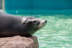 Californian Sealion. Resting on a rock Royalty Free Stock Photography