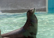 Californian Sealion. Resting on a rock Stock Photo