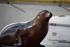 Californian Sealion stock photo