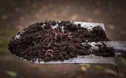 Californian worm doing fertilizer. Agriculture and soil fertilization stock photos