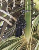 Californianus do Geococcyx do cuco terrestre australiano fotografia de stock royalty free
