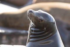 Californianus Headshot Zalophus λιονταριών θάλασσας Καλιφόρνιας στοκ εικόνα με δικαίωμα ελεύθερης χρήσης