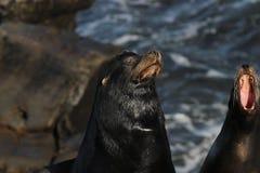 Californianus 5 Zalophus морсого льва Калифорнии Стоковое Изображение