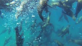 Californianus Zalophus απόθεμα βίντεο