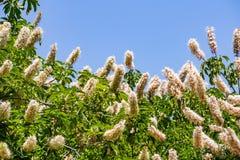 Californica Aesculus λουλουδιών Καλιφόρνιας buckeye στοκ εικόνες