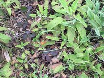 Californica Aristolochia, η Καλιφόρνια Pipevine, 1 στοκ εικόνες