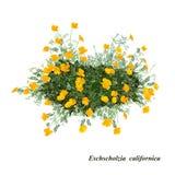 Californica de Eschscholzia Fotografía de archivo libre de regalías