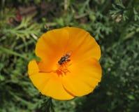 Californica di Eschscholzia o papavero di California Fotografia Stock Libera da Diritti